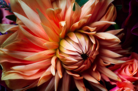 Fall Dahlia | Rectangle