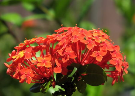 Ixora Arrangement of 3