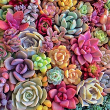 Load image into Gallery viewer, Rainbow succulent plants baja cactus blossom flower wax scent