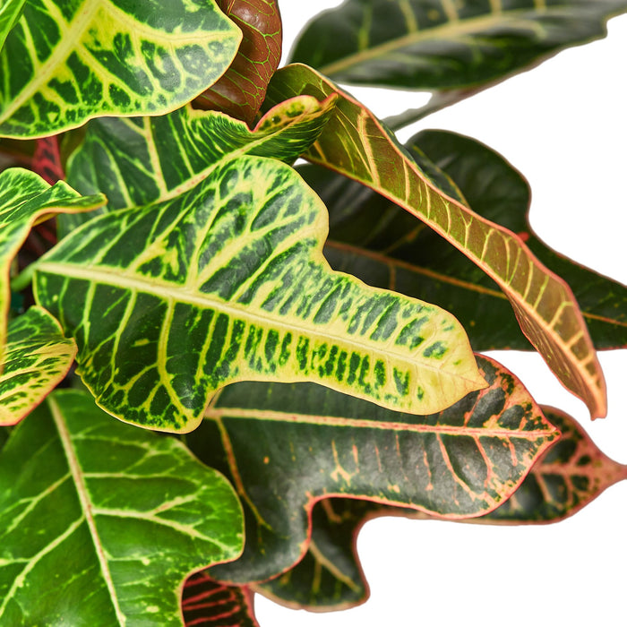 Croton 'Oak Leaf'