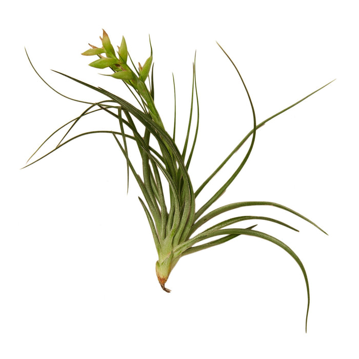 Tillandsia Air Plant Stricta
