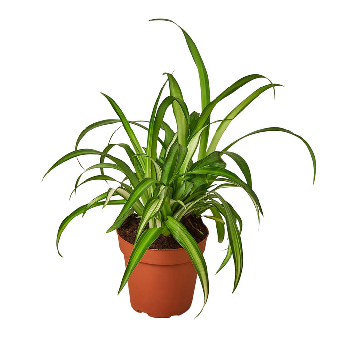 Spider Plant Hawaiian