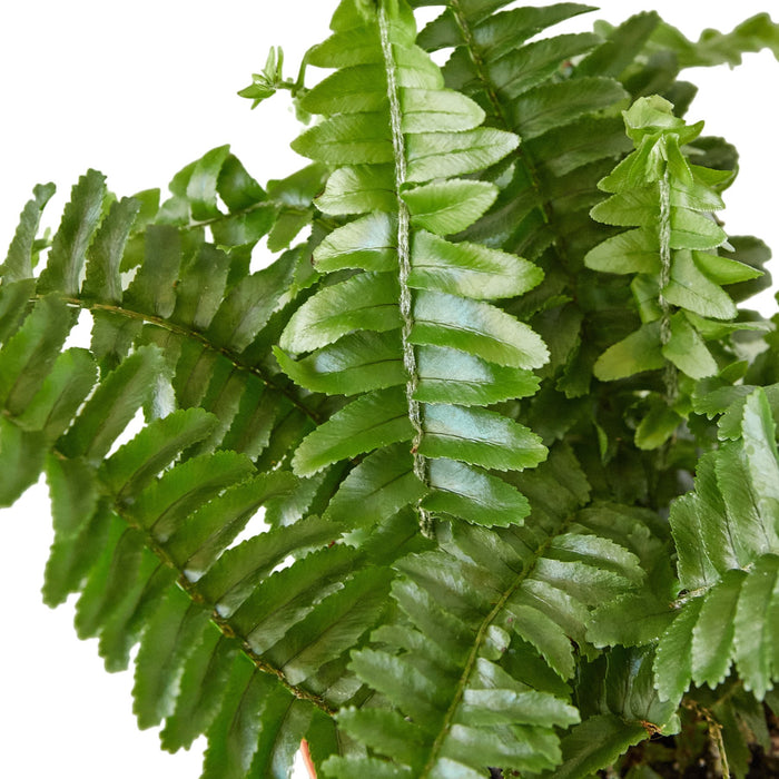 Jester's Crown Fern