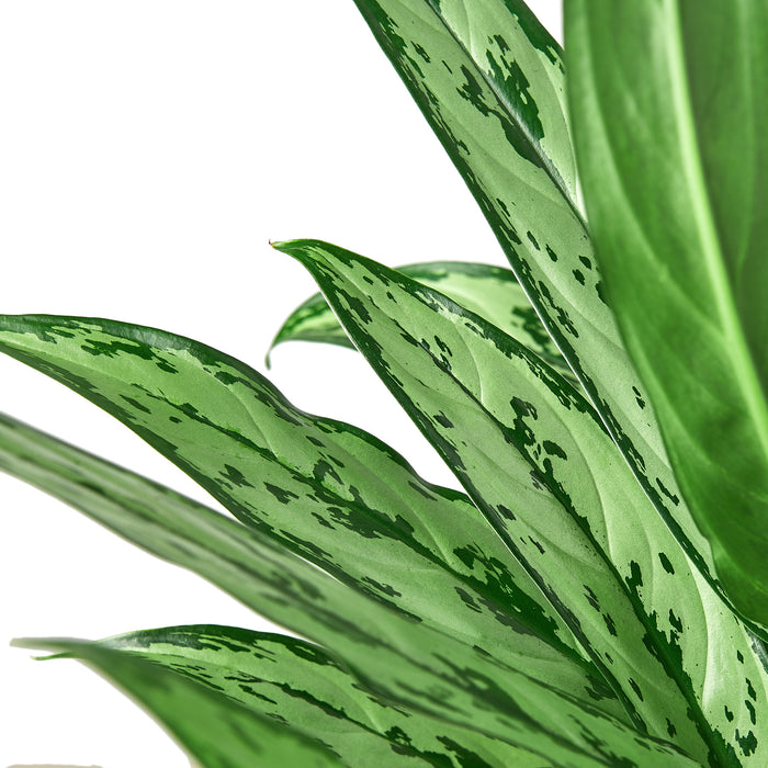 Chinese Evergreen 'Cutlass'