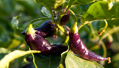 Long Purple Pepper