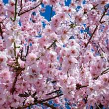 Load image into Gallery viewer, Cherry Blossom Melt Pod