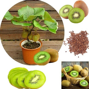 200pcs Actinidia Seeds Bonsai Fruit Tree Seed Garden Supplies  Healthy Delicious KIWI Seeds