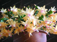 Load image into Gallery viewer, Zygocactus Truncatus schlumbergera Seeds,Cactus Flowers Indoor Potted Plants Purifying Air Flower Epiphyllum Green Plant 100PCS