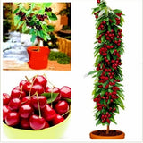 Mini Cherry Tree Seeds Cherry Bonsai Tree Seeds Dwarf Cherry Tree Fruit Seed for Home&garden 20pcs/bag Cerise Des Graines Fruit Cereza Semillas Frutacereja Sementes Fruta