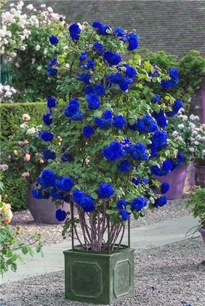 100/200Pcs Blue Climbing Roses Seeds,Climbing Plants ,Chinese Flower Seeds Perennial Flower Seeds for Garden Planting Gift for Wife