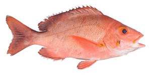 Arnilene Seafoods (Quezon City) Lapu Lapu (First Class) 1kg