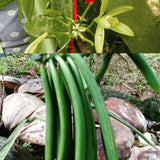 How to Loop for a Healthy Vanilla Vine - Tip of the Day