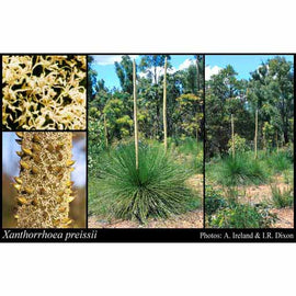 Australian Grass Tree Seeds