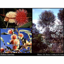 Pin-cushion Hakea Seeds