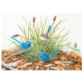 Splendid Wrens on the Patersonia Print