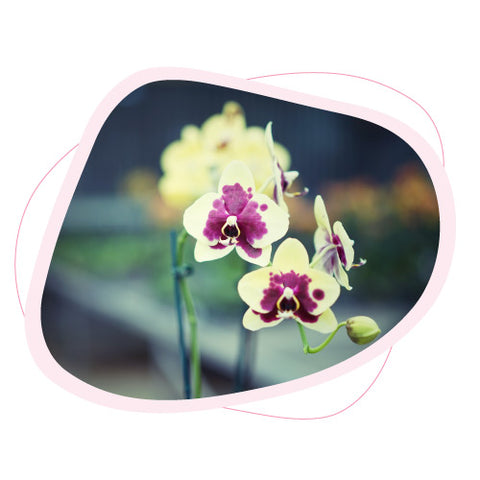 Origin of the Name Orchid
