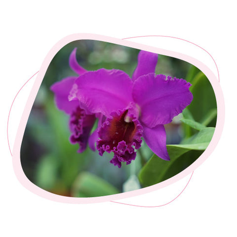 The historical and cultural meaning of orchids