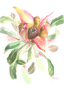 watercolour painting of a waratah's open bud