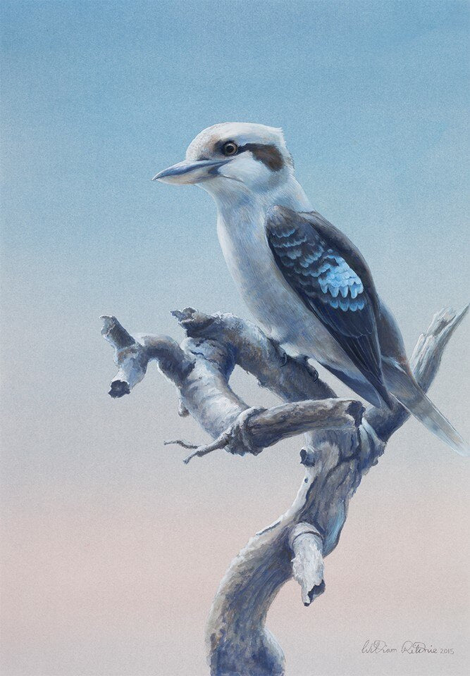 Kookaburra at Sunset - limited edition print