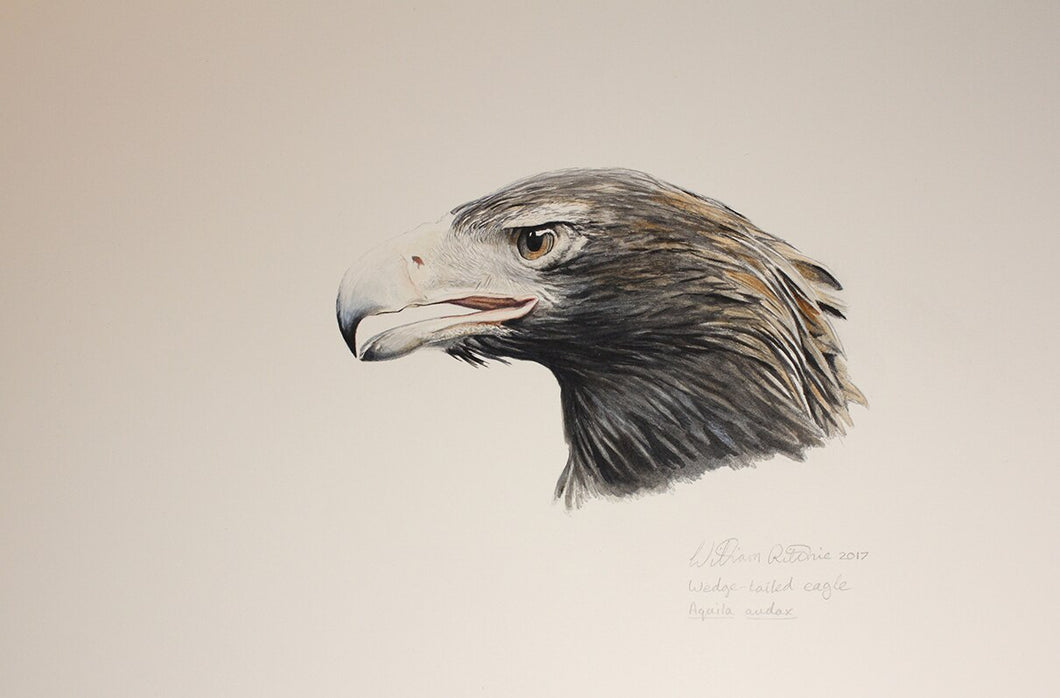 Wedge-tailed eagle head study