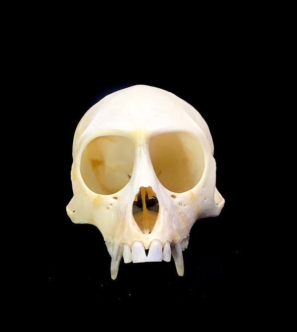 Vervet Monkey (Chlorocebus pygerthus) Top / Half Skull from South Africa (CANADA ONLY)