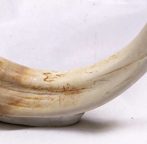 "REAL 6"" Warthog Tusks, taxidermy, teeth from Namibia, Africa (Canada Only)"