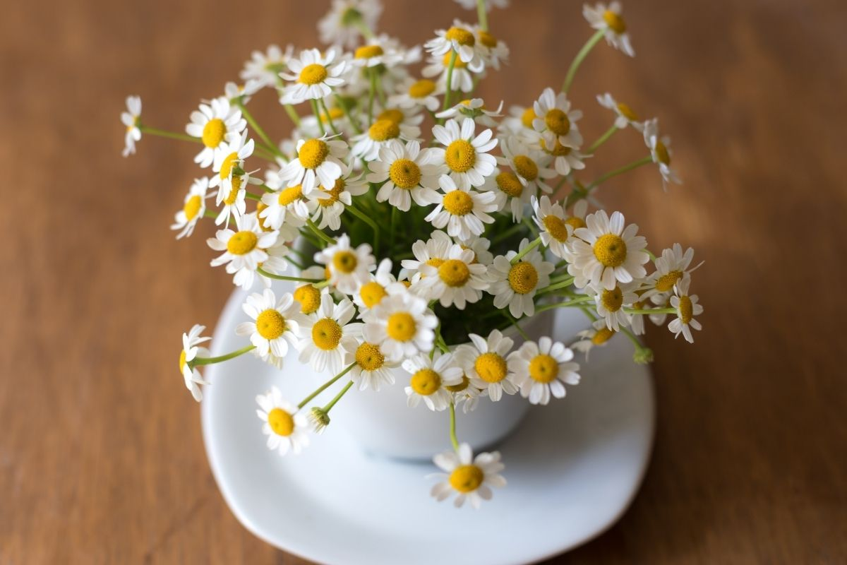 chamomile flowers sprouting from tea cup