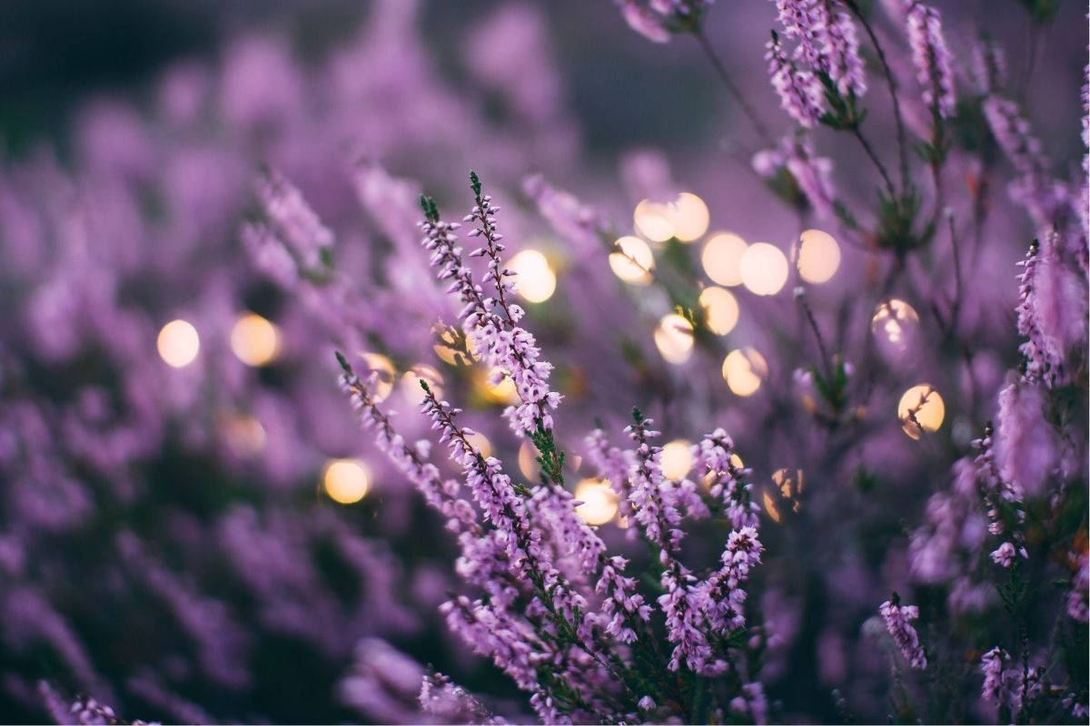 lavender flowers and fairylights