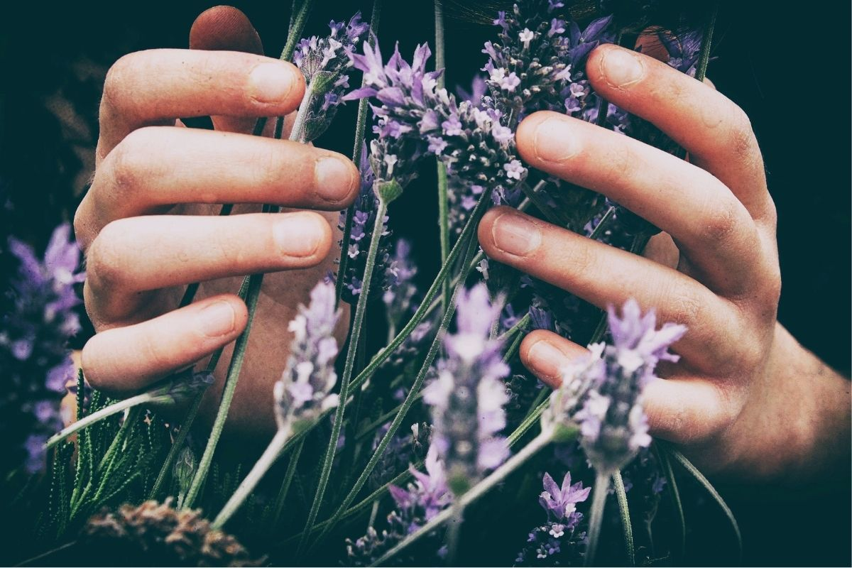 lavender flowers in hand