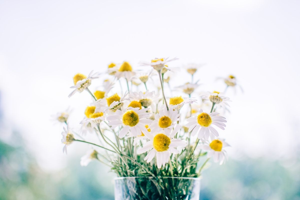 chamomile flowers in a jar