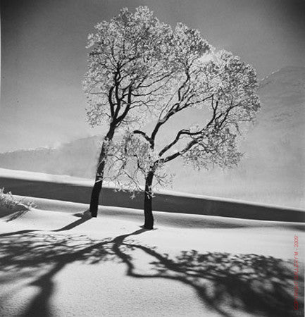 Trees in Snow by Alfred Eisenstaedt