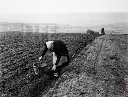 Potato Planting by Carl Mydans
