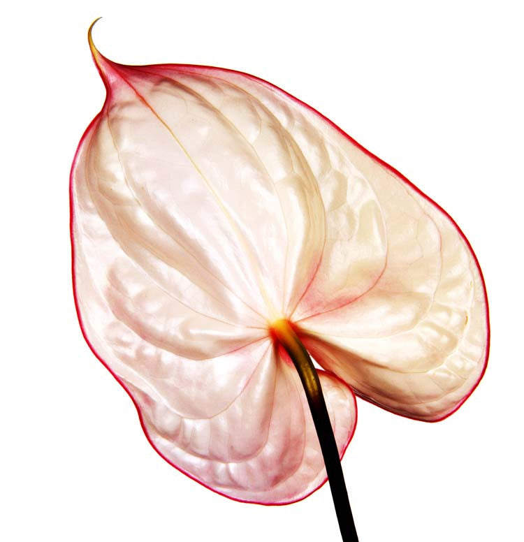Anthurium Fantasia by Howard Schatz