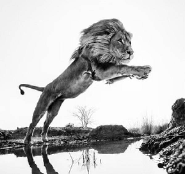 Lion King Dinokeng, South Africa 2014  by Yarrow