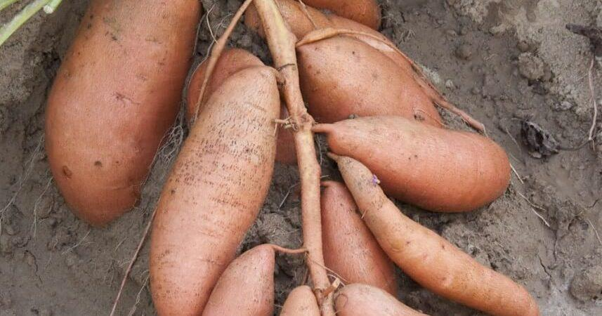 CSPI Rates Sweet Potato As Most Nutritional Vegetable By Far