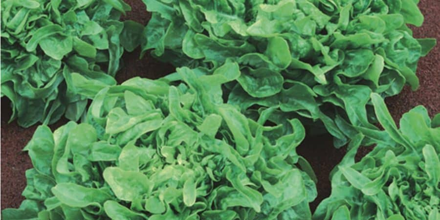 Nutritious Salads—From Wild Greens To Iceberg Lettuce