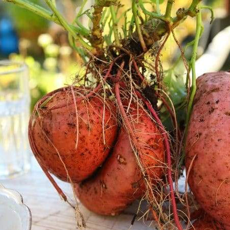 Early Orders Boost Success; Now Grow Sweet Potatoes Almost Anywhere!