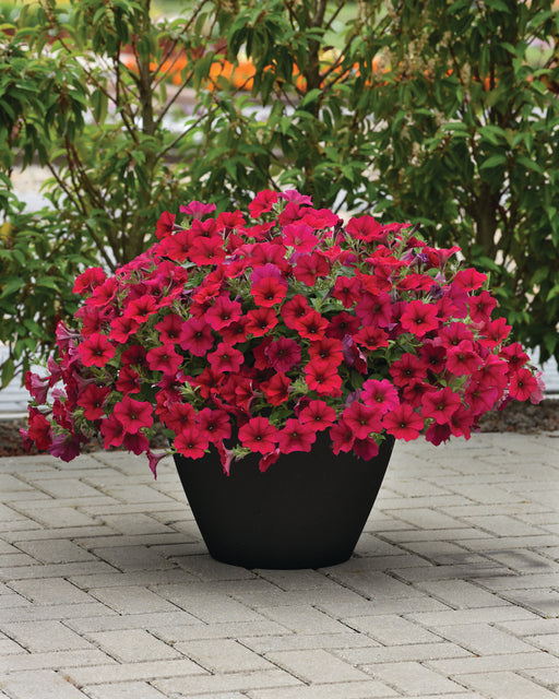 Carmine Velour Wave® Spreading Petunia
