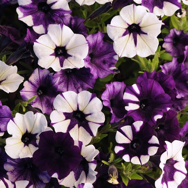 Bulk: Shock Wave Purple Tie Dye Spreading Petunia