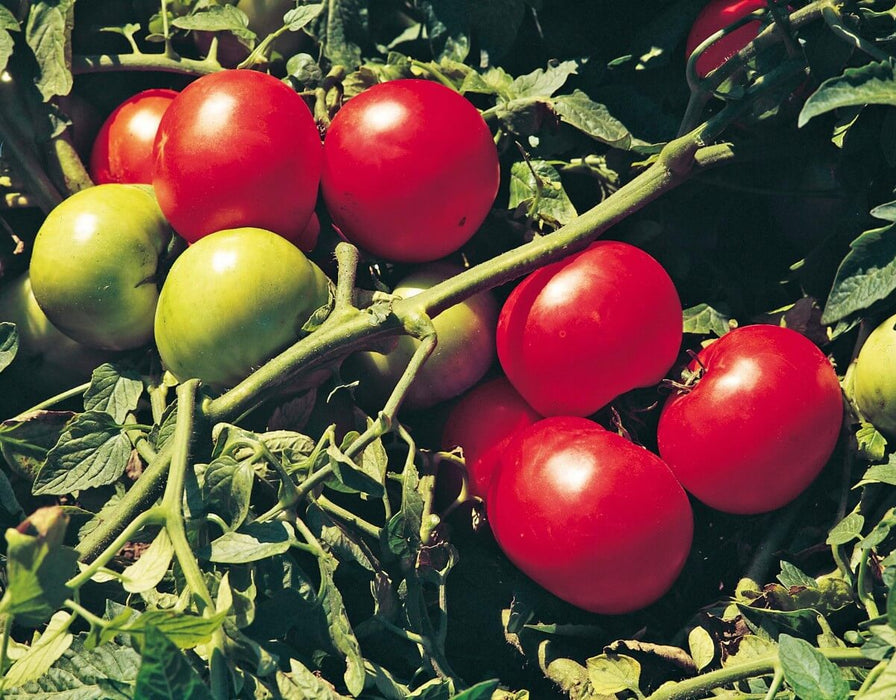 Bulk: Supersonic Hybrid VF Tomato Seeds