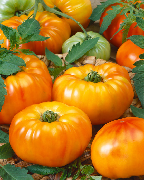 Bulk: Chef's Choice Bicolor Hybrid Tomato VFTA
