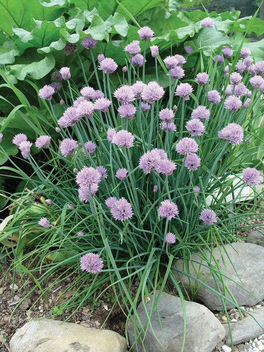 Bulk: Chives Herb Seeds