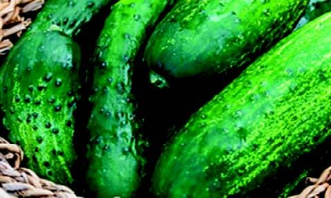 County Fair Improved Hybrid Cucumber