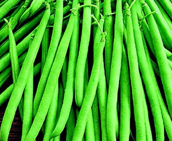 Maxibell Bush Bean