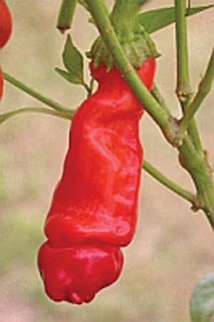 Red Peter Hot Pepper Seeds