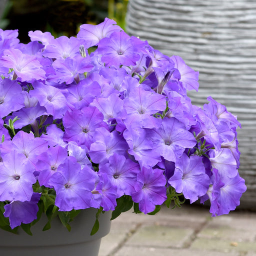 Easy Wave Lavender Sky Blue Spreading Petunia