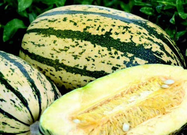 Sugaretti Hybrid Winter Squash