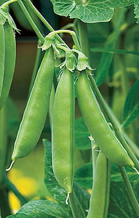 Sugar Snap Pea