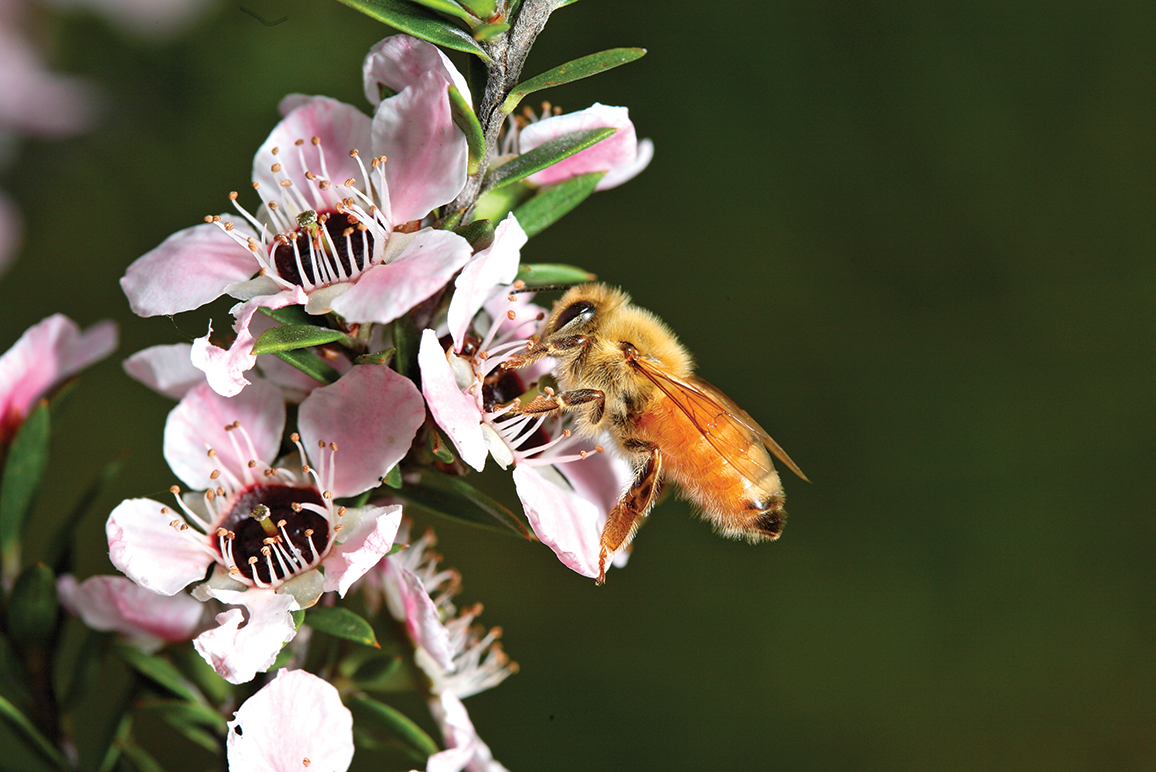 Honey Bee Collecting nectar from Manuka flower