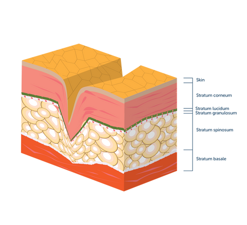 Cross section of skin layers